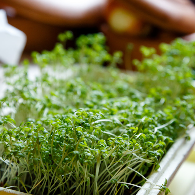 """Cress sprouts"" stock image"