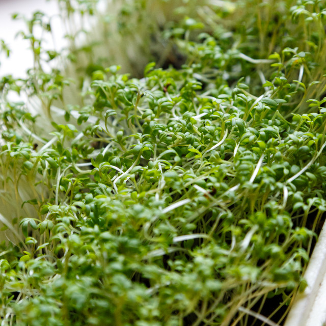 """""""Cress sprouts"""" stock image"""