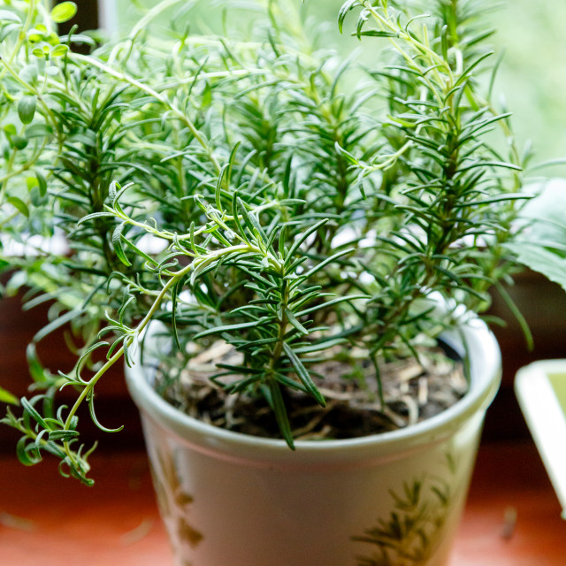 """""""Rosemary in a flowerpot"""" stock image"""
