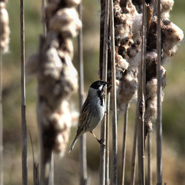 """Reed Bunting"" stock image"