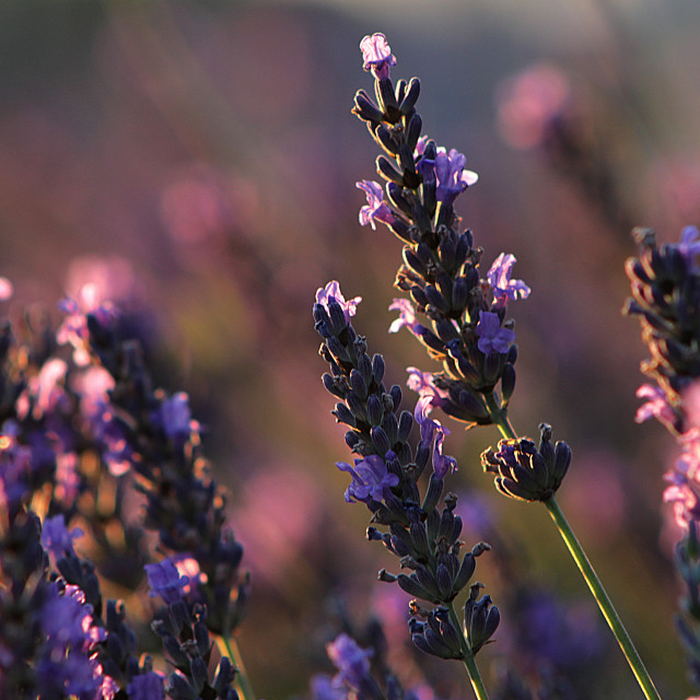 """Lavender flower"" stock image"