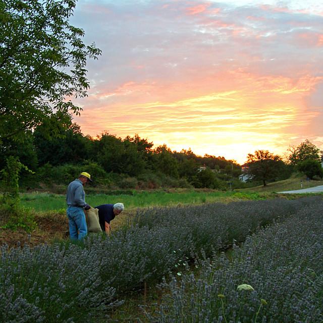 """Lavender farmer"" stock image"