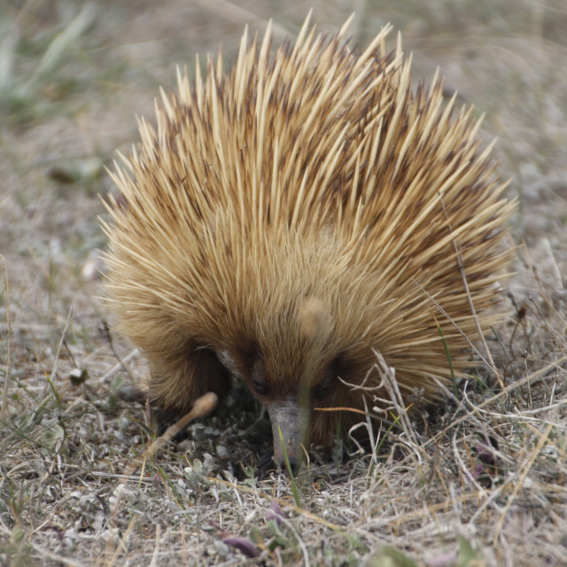 """Busy Echidna"" stock image"