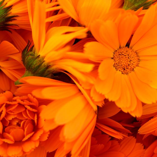 """Marigold (Calendula officinalis)"" stock image"