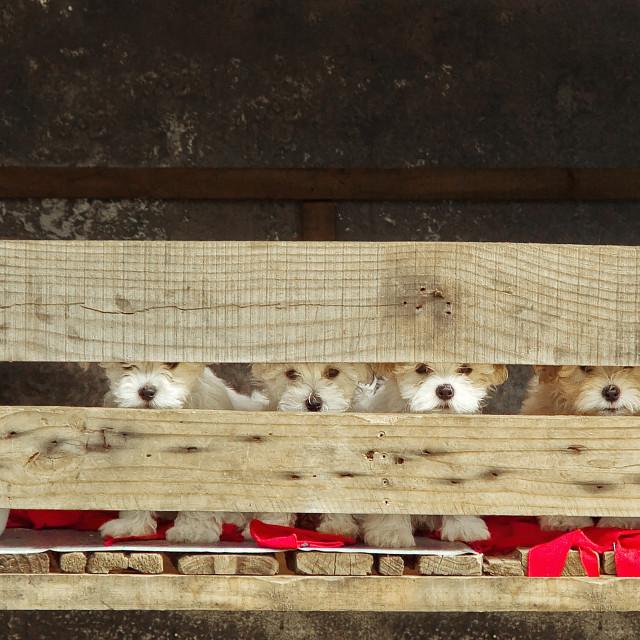 """DSC_1264- Maltese Puppies"" stock image"