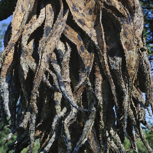 """""""WCC_1004- Aloe Africana"""" stock image"""
