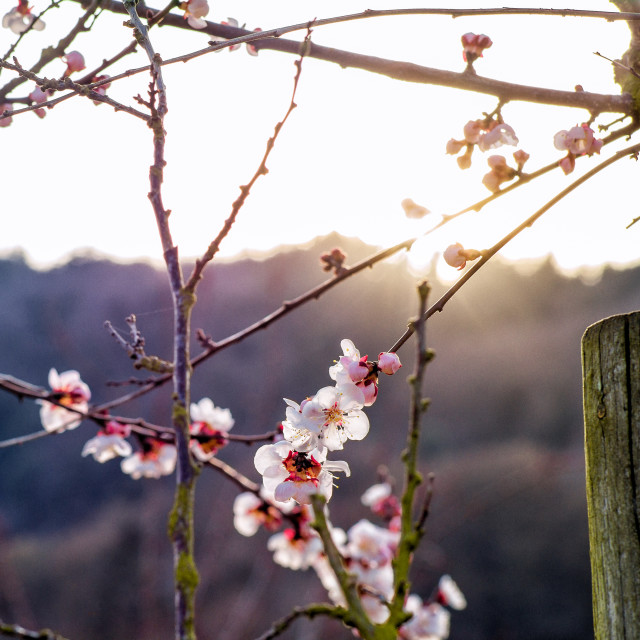 """Apricot blossom"" stock image"