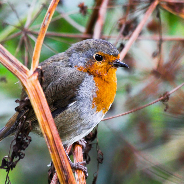 """Little Robin Redbreast"" stock image"