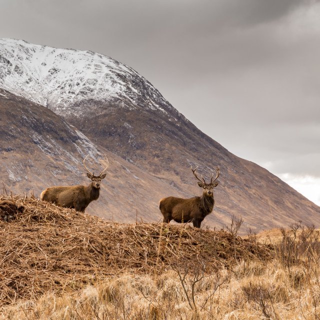 """""""Highland Stags"""" stock image"""