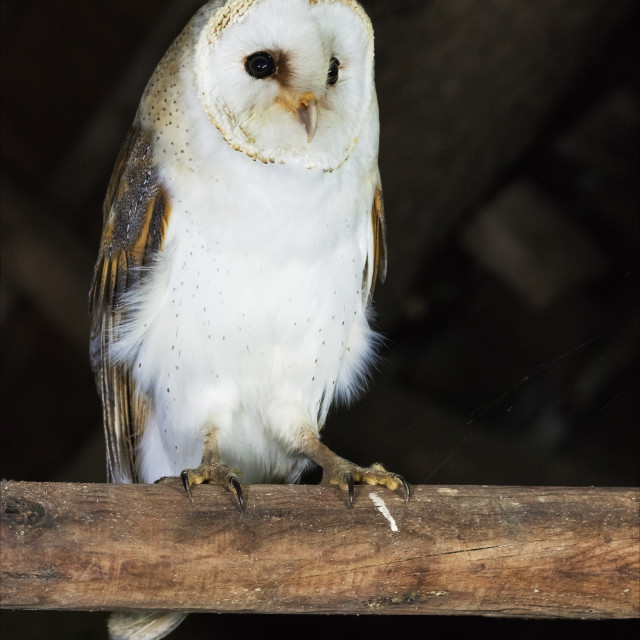 """Barn Owl in a barn"" stock image"