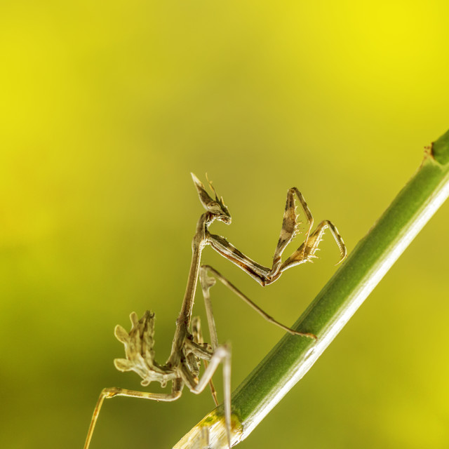 """praying mantis insect in nature"" stock image"