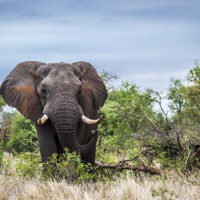 """African bush elephant in Kruger national park, South Africa"" stock image"