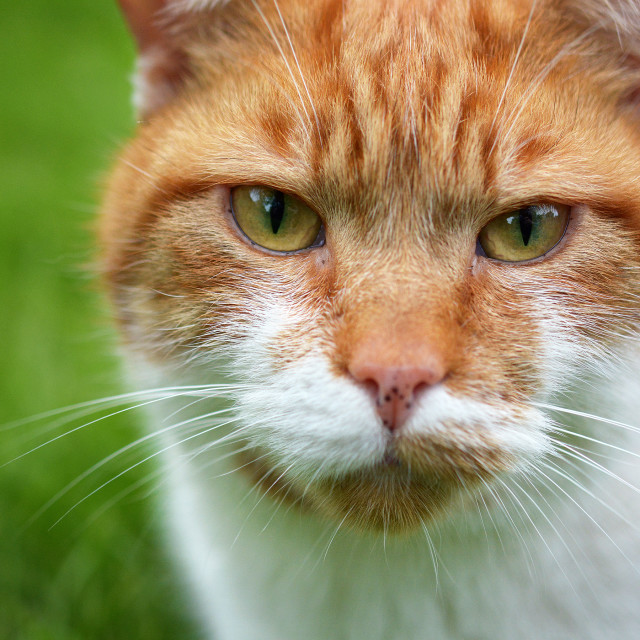 """""""Red Tabby Cat"""" stock image"""