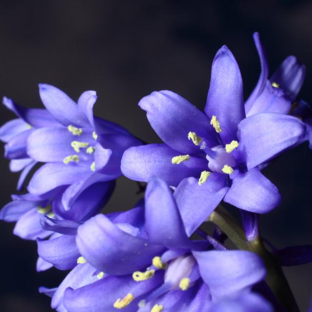"""Chionodoxa flowers"" stock image"