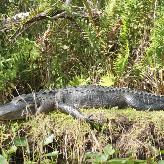 """""""Crocodile."""" stock image"""