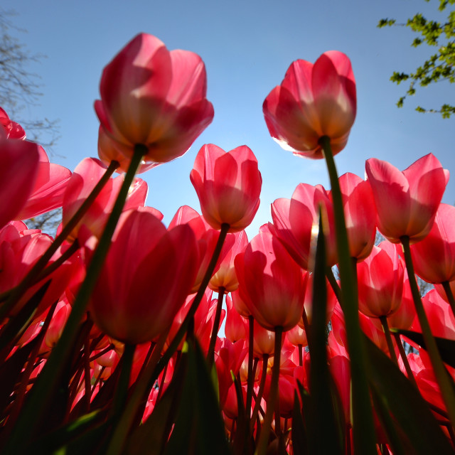 """Tulip time 1"" stock image"