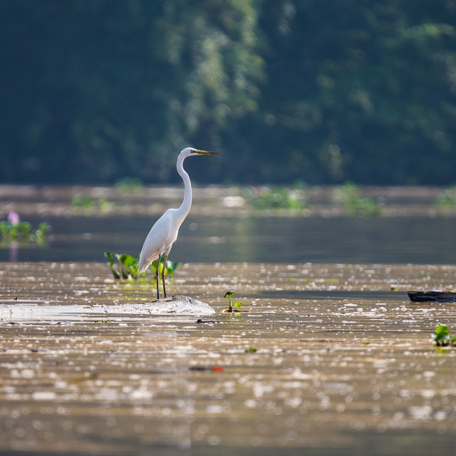 """Egret Kinabatangan River"" stock image"