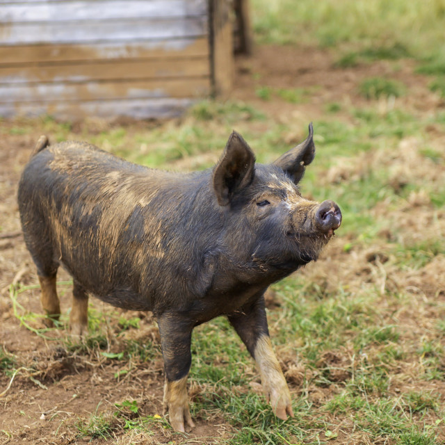 """Happy organic pig"" stock image"