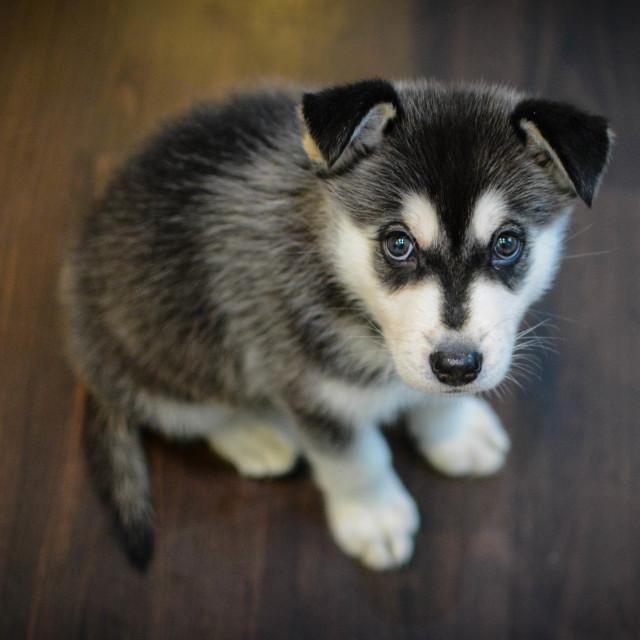 """""""Malamute Puppy"""" stock image"""