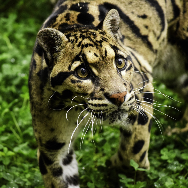 """The beautiful Clouded Leopard"" stock image"