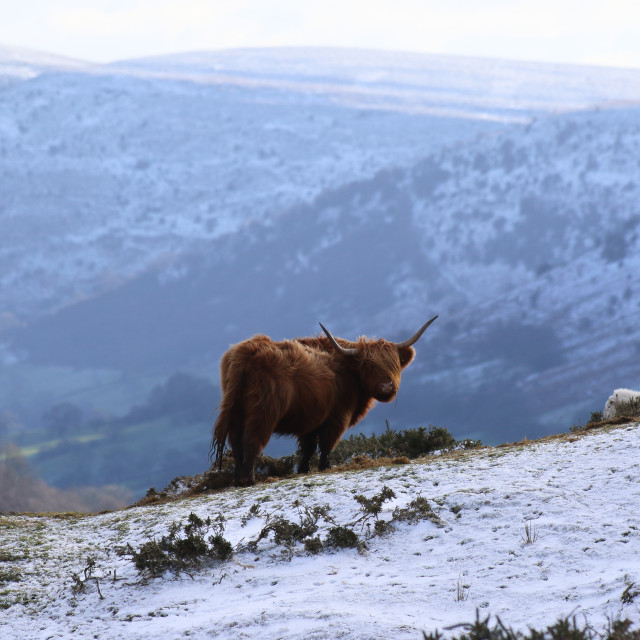 """Highland Cow in the Snow"" stock image"