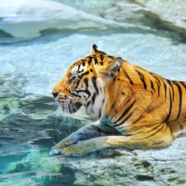 """""""Picture of a bengal tiger near the water"""" stock image"""