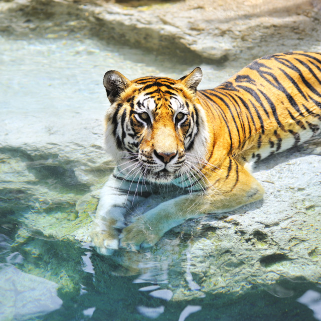 """""""Picture of a bengal tiger near the water ...."""" stock image"""