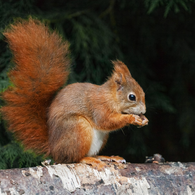"""Red Squirrel on birch"" stock image"