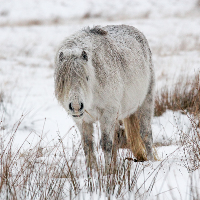 """Wild Pony in the Snow"" stock image"