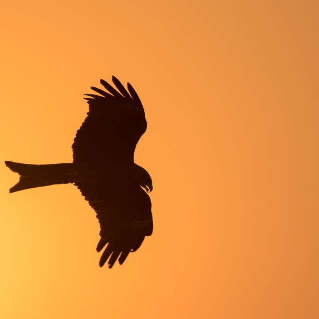 """Black Kite"" stock image"