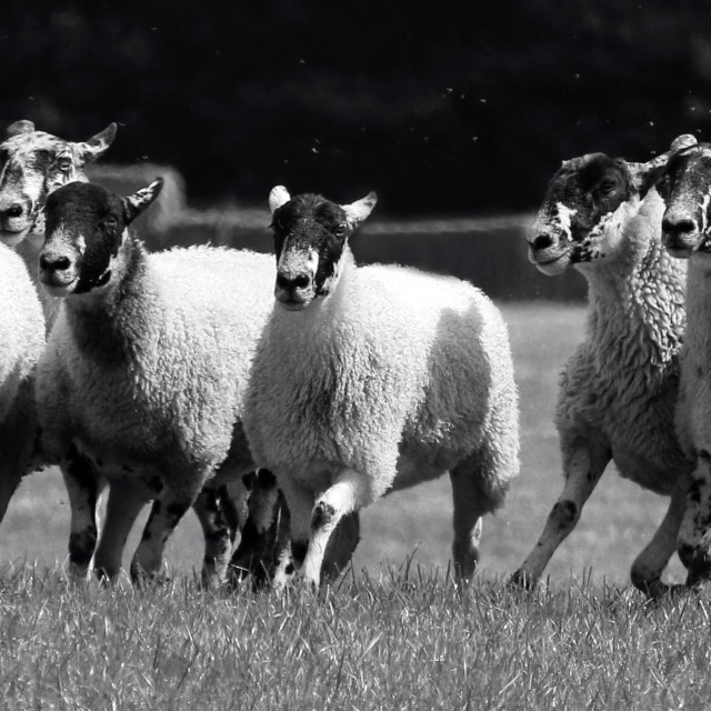 """Herding sheep"" stock image"