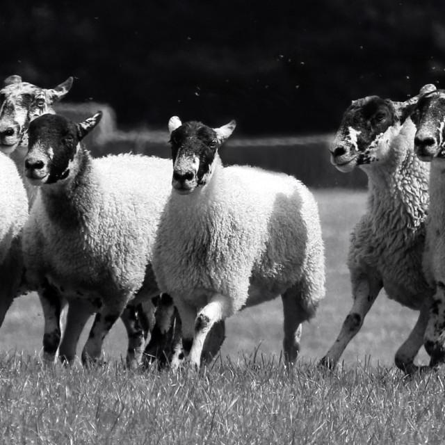 """""""Herding sheep"""" stock image"""