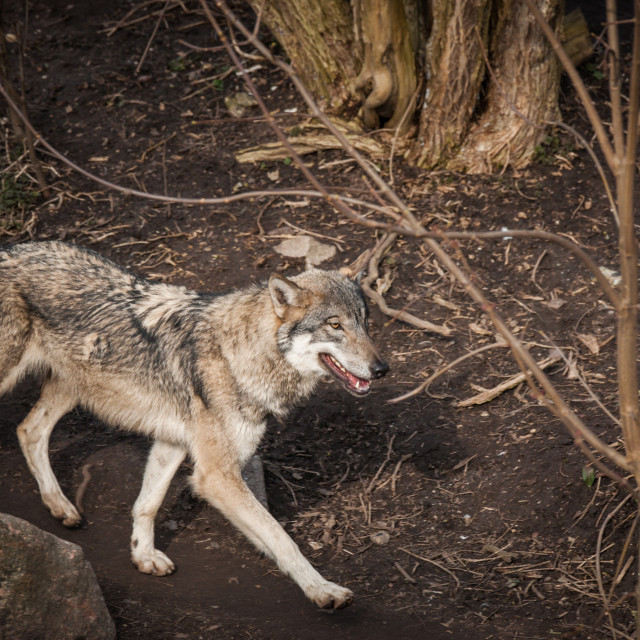 """""""Wolf walking in a forest"""" stock image"""