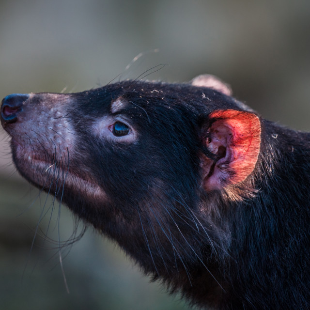 """Tasmanian devil with a red ear"" stock image"