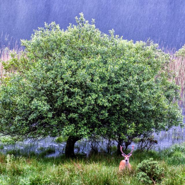 """""""Deer under the rain"""" stock image"""