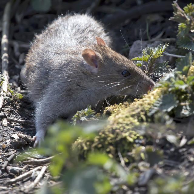 """""""Brown Rat."""" stock image"""