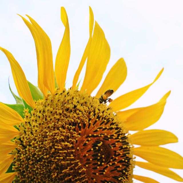 """bee & sunflower"" stock image"