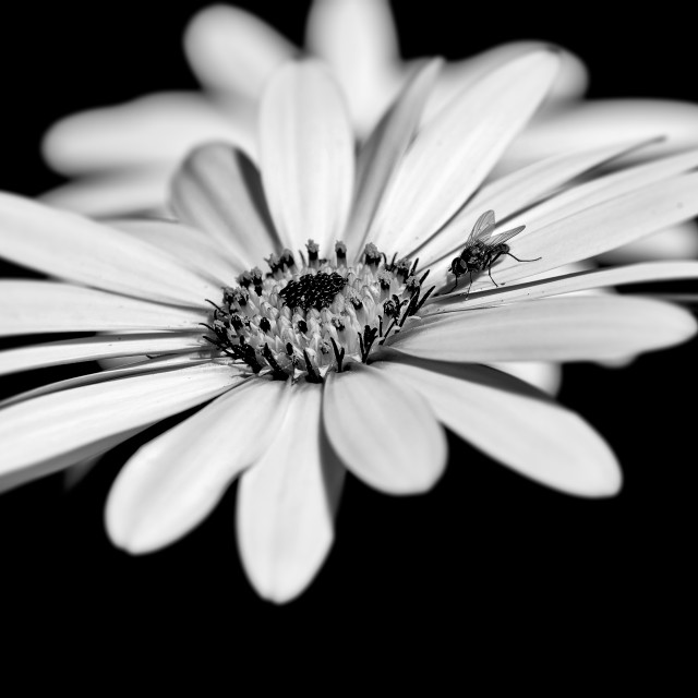 """Osteospermum and fly"" stock image"