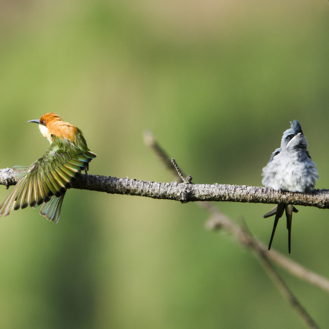 """Chestnut-headed bee-eater and crested treeswift in Sri Lanka"" stock image"