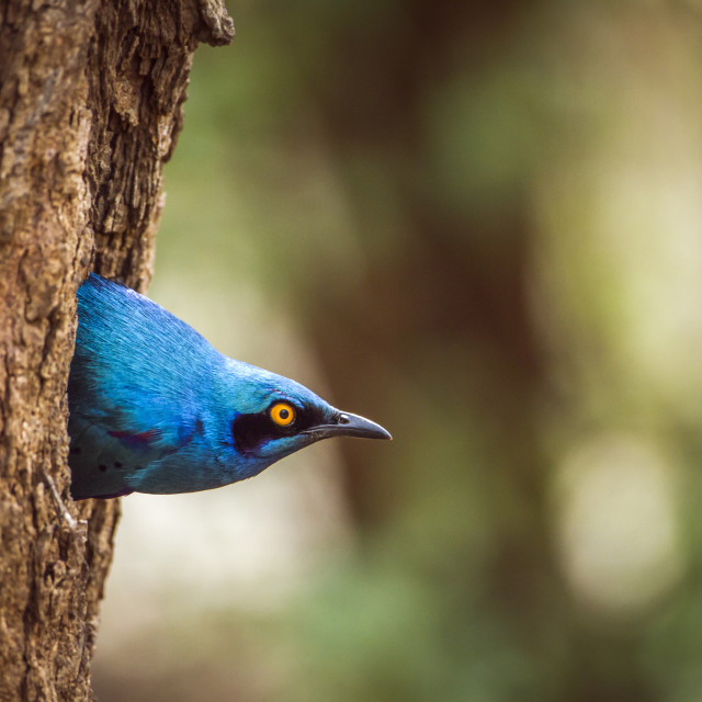 """Burchell's Glossy starling in Kruger National park, South Africa"" stock image"