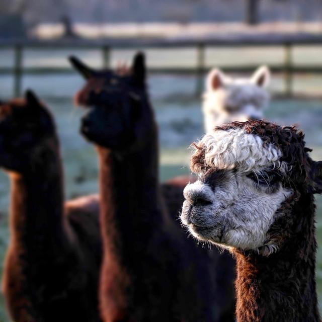 """""""Alpacas"""" stock image"""