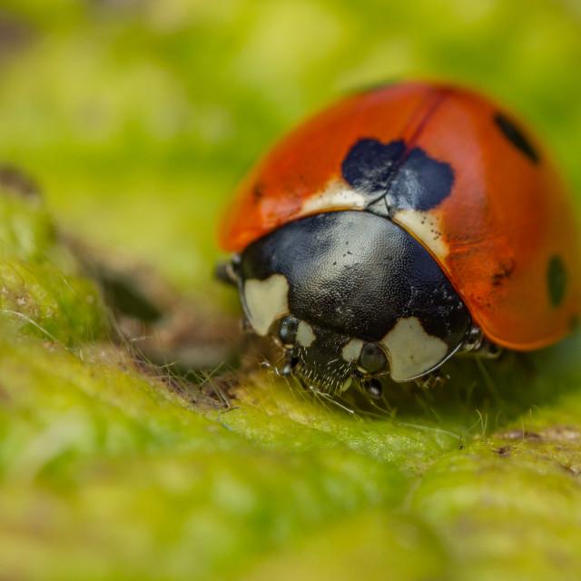 """7-spot Ladybird (Coccinella septempunctata)"" stock image"