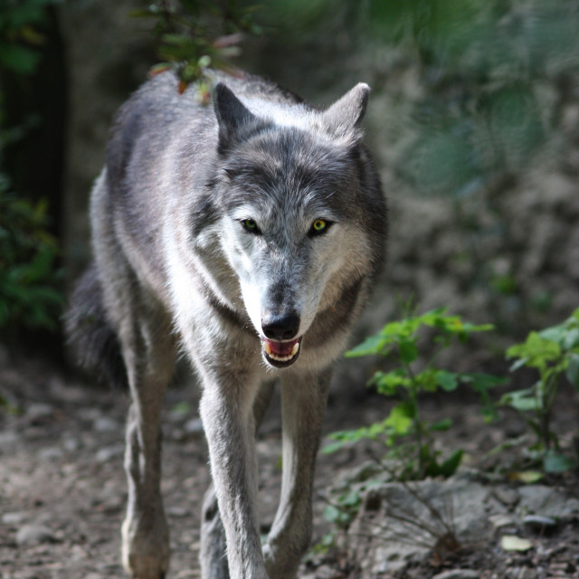 """""""The wolf (Canis lupus)"""" stock image"""