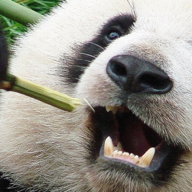 """Panda Snack"" stock image"