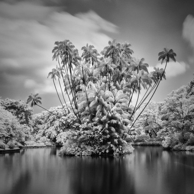 """""""Family of Coconut Trees"""" stock image"""