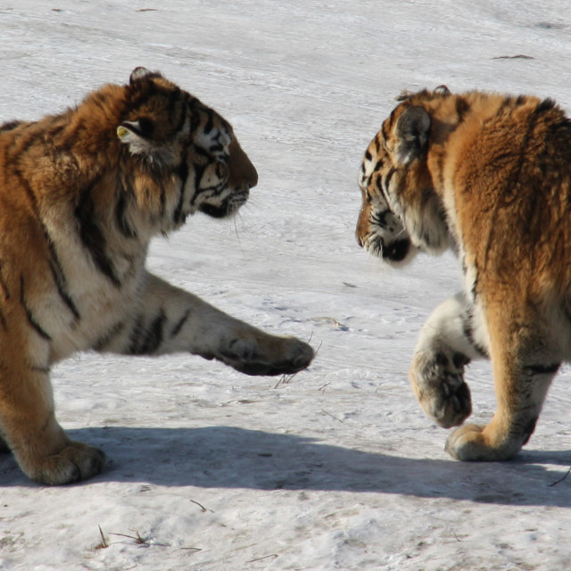 """Tigers in the snow"" stock image"