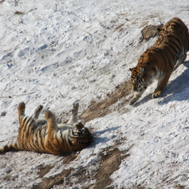 """""""Tigers playing in the snow"""" stock image"""