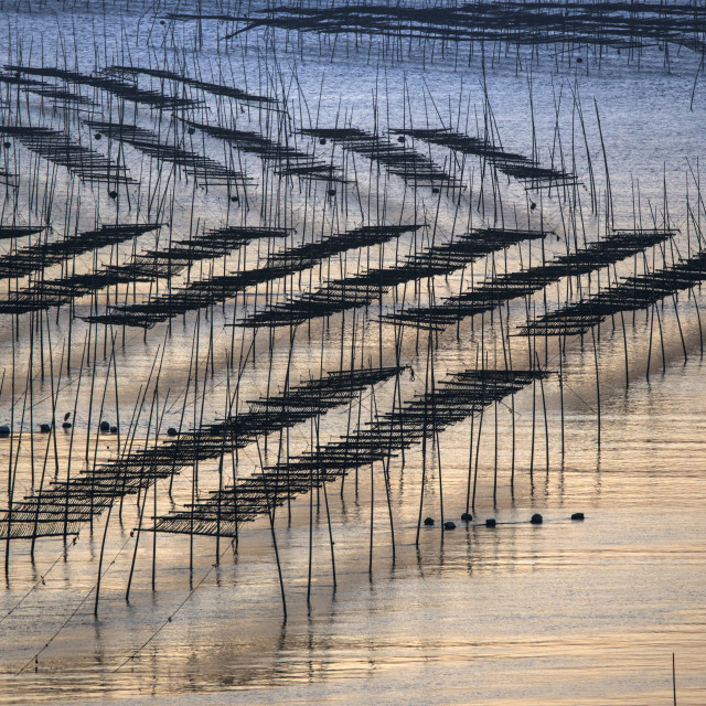 """Peoples cultivated kelp off the seashore in Fujian,China"" stock image"