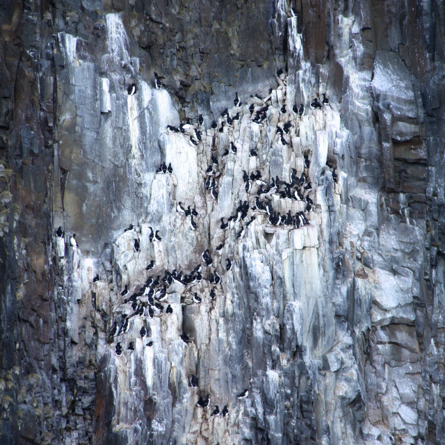 """Guillemots clinging to the cliffs at Svalbard"" stock image"