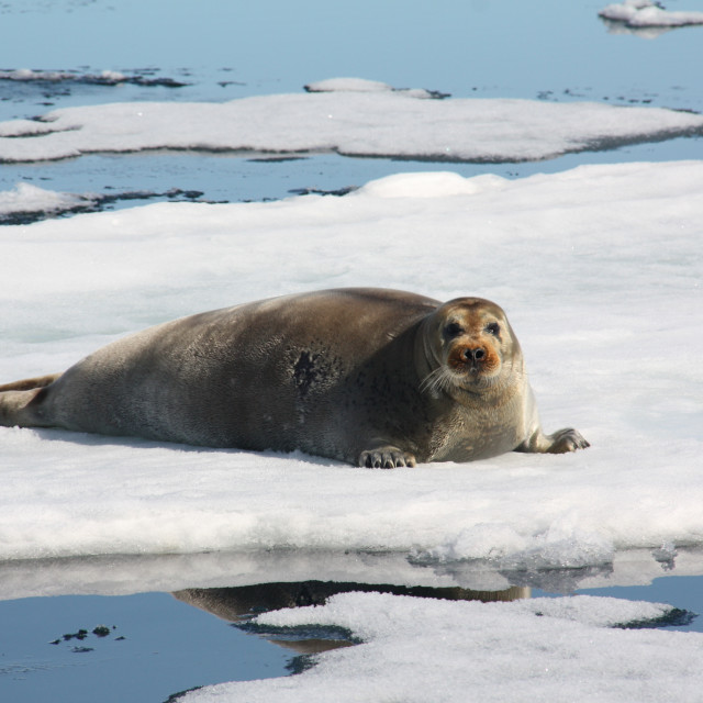 """Underwhelmed seal on floating ice"" stock image"